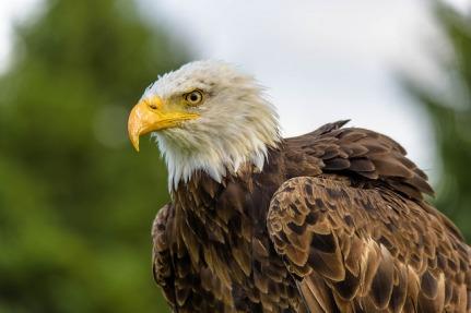 Bald Eagle - Eugene Pruski