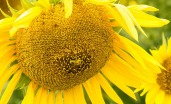 Harvest - Sunflower 7 by Paul Mennill
