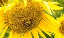 Harvest - Sunflower 7 by Paul Mennill