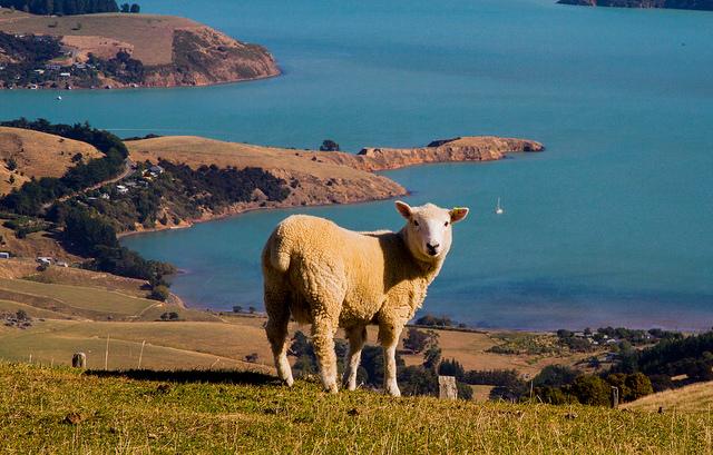 Sheep - Sid Huff