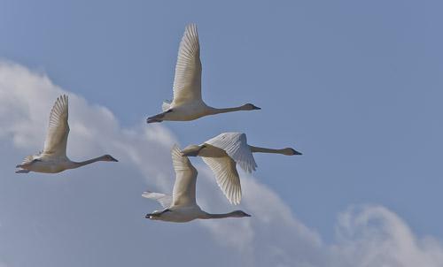 Tundra Swans - Eugene Pruski